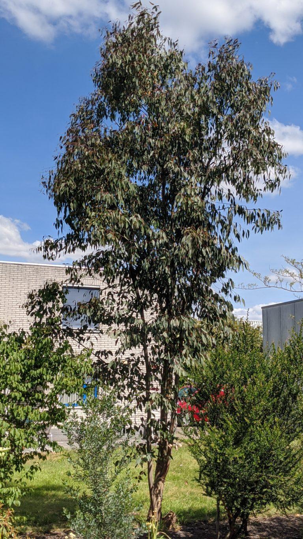 eucalyptus mannifera var praecox