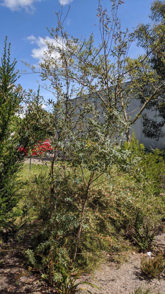 eucalyptus parvula