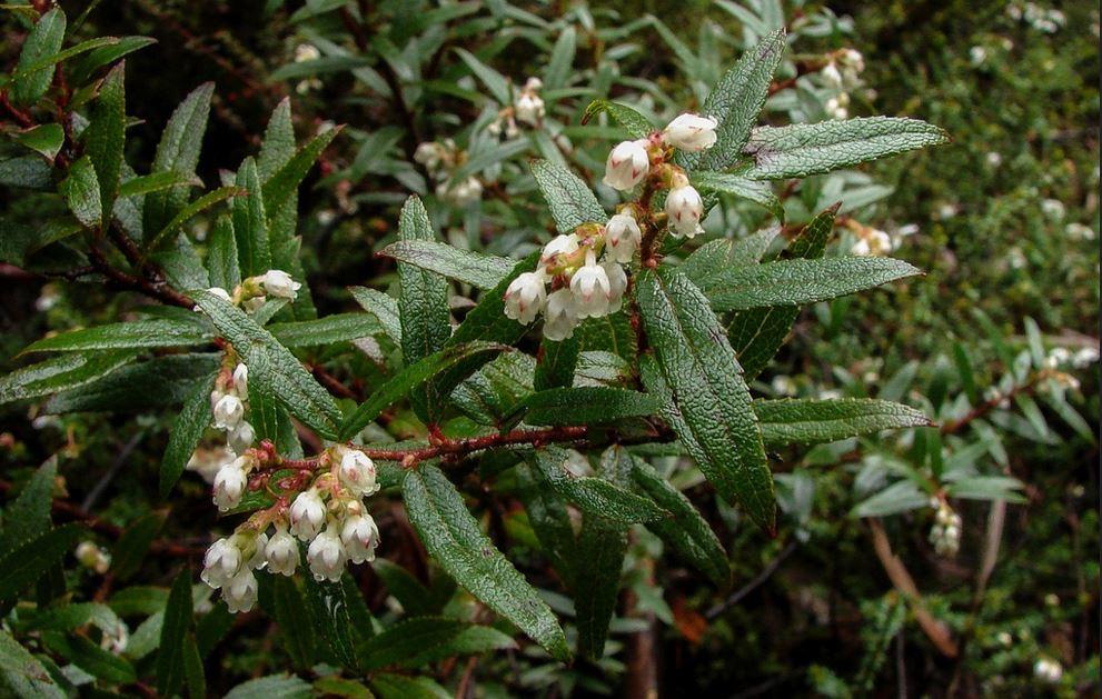Gaultheria hispida