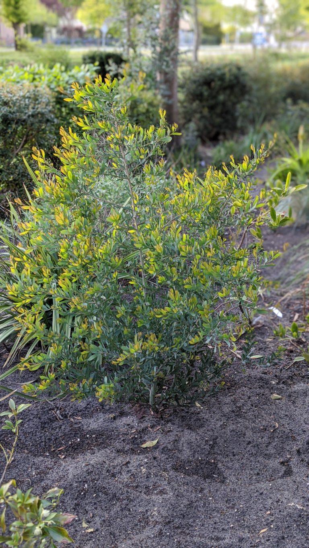 acacia pataczekkii