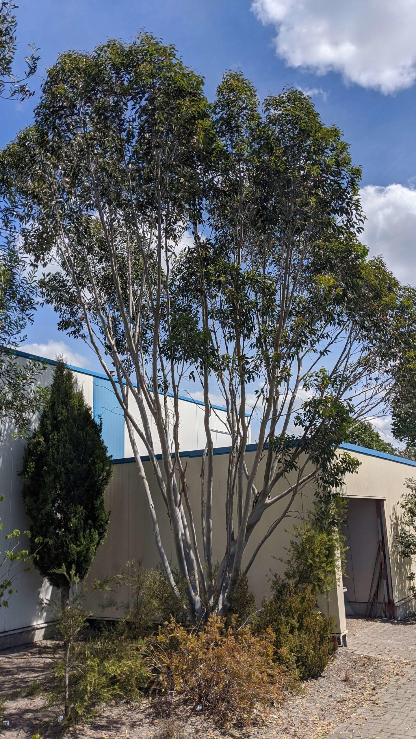 eucalyptus niphophila