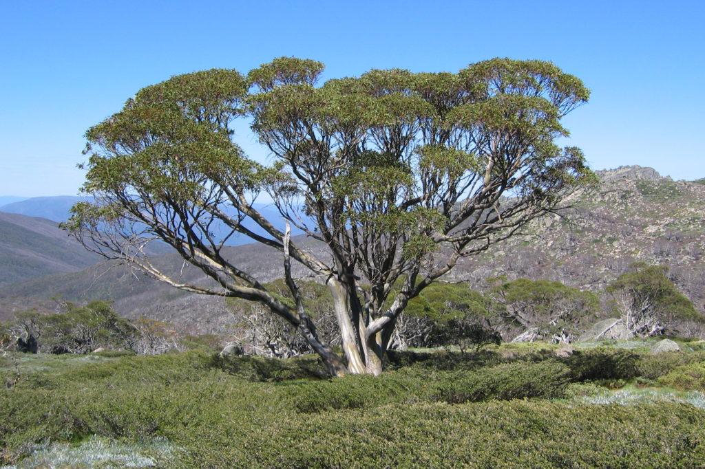 eucalyptus snowgum
