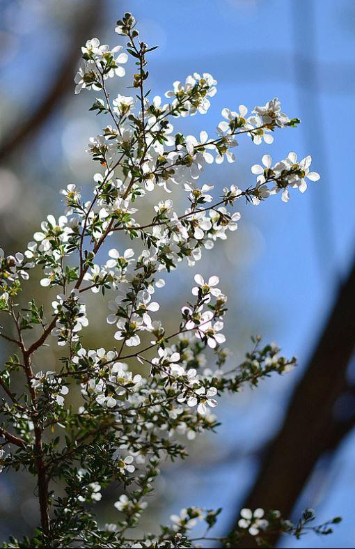 leptospermu grandifolium