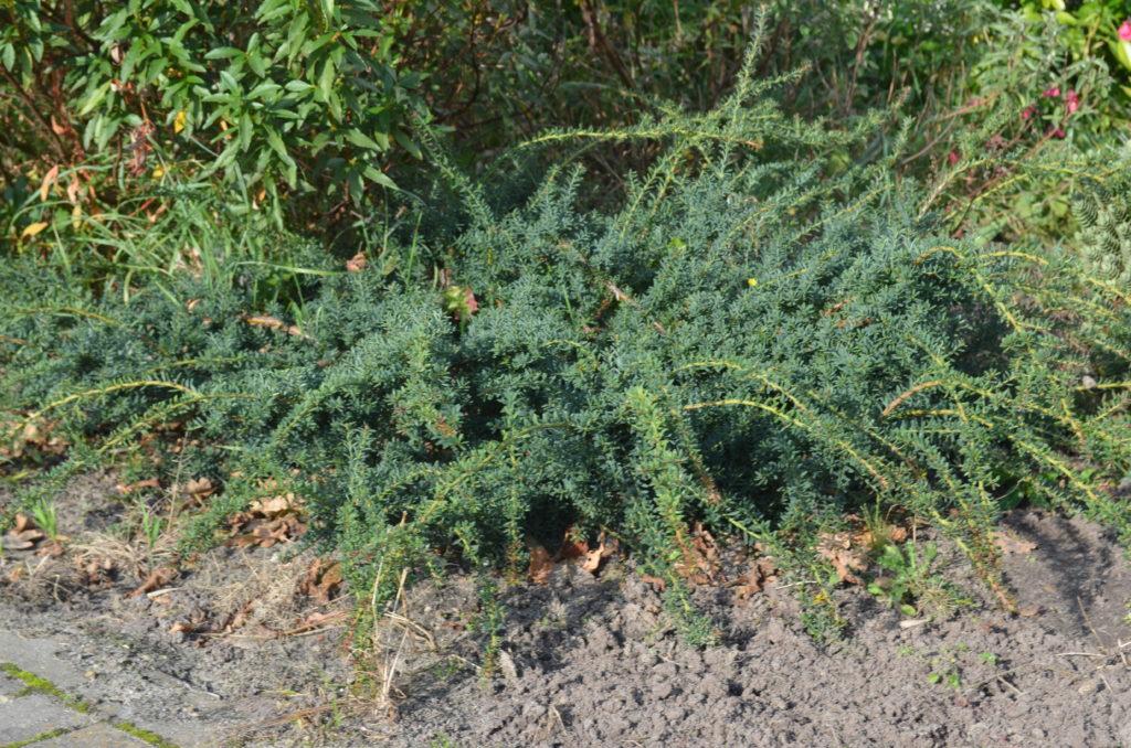 podocarpus lawrencii