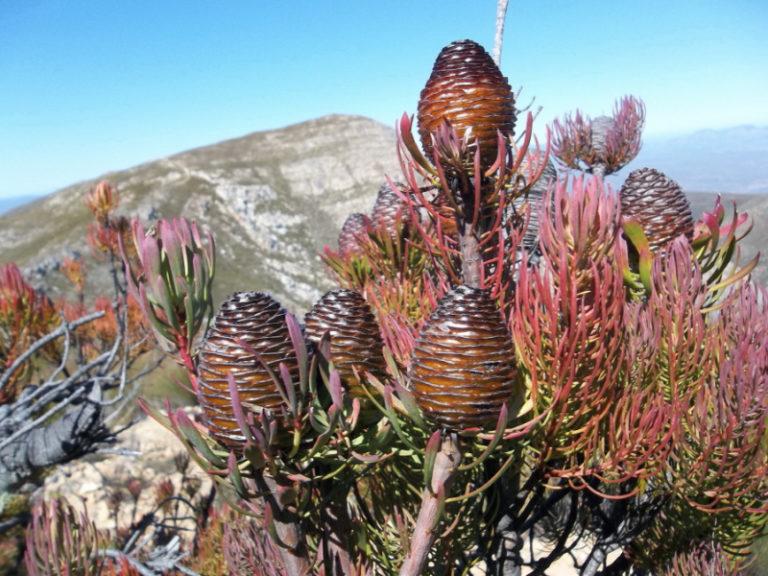 Leucadendron comosum