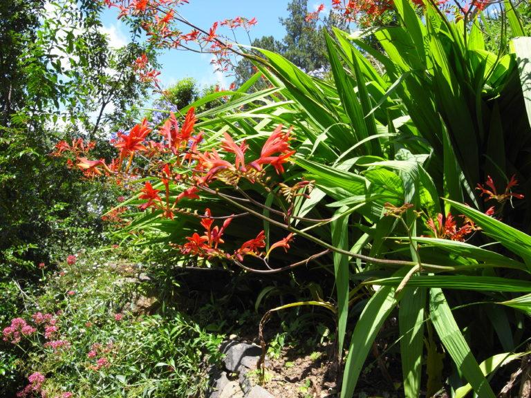 watsonia latifolia