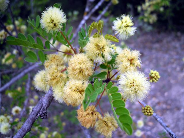 acacia roemeriana