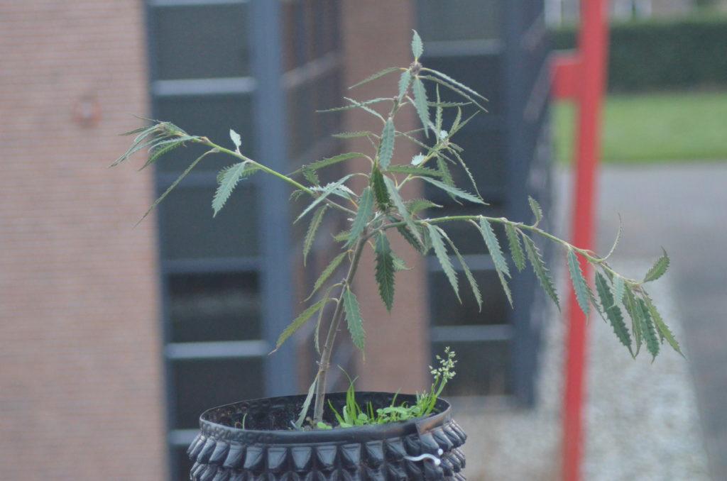 lithocarpus densiflorus f.attenuato-dentatus
