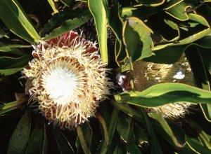 protea pruinosa