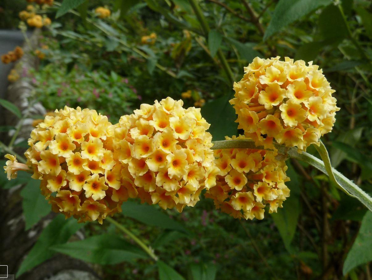 Buddleja weyeriana 'Honeycomb'