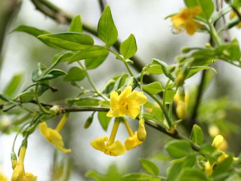 Jasminum humile