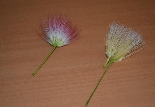 Flower Albizia coreana and kalkora