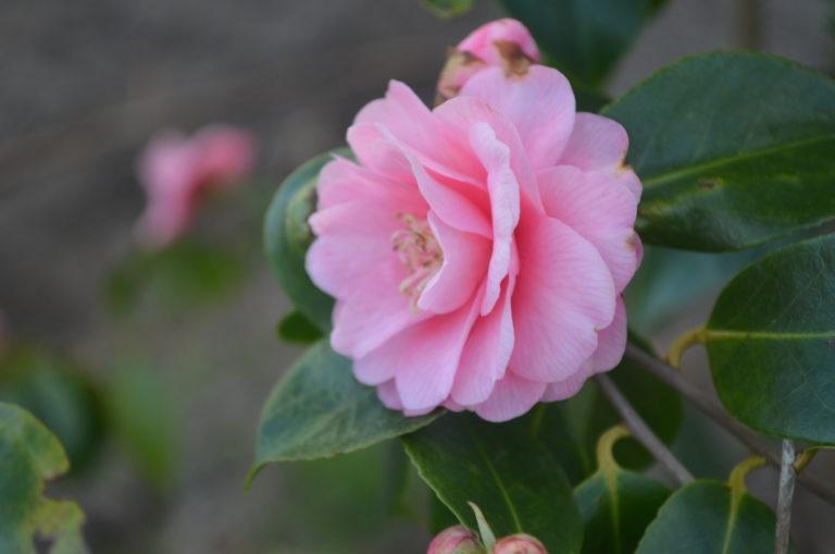 camellia spring festival