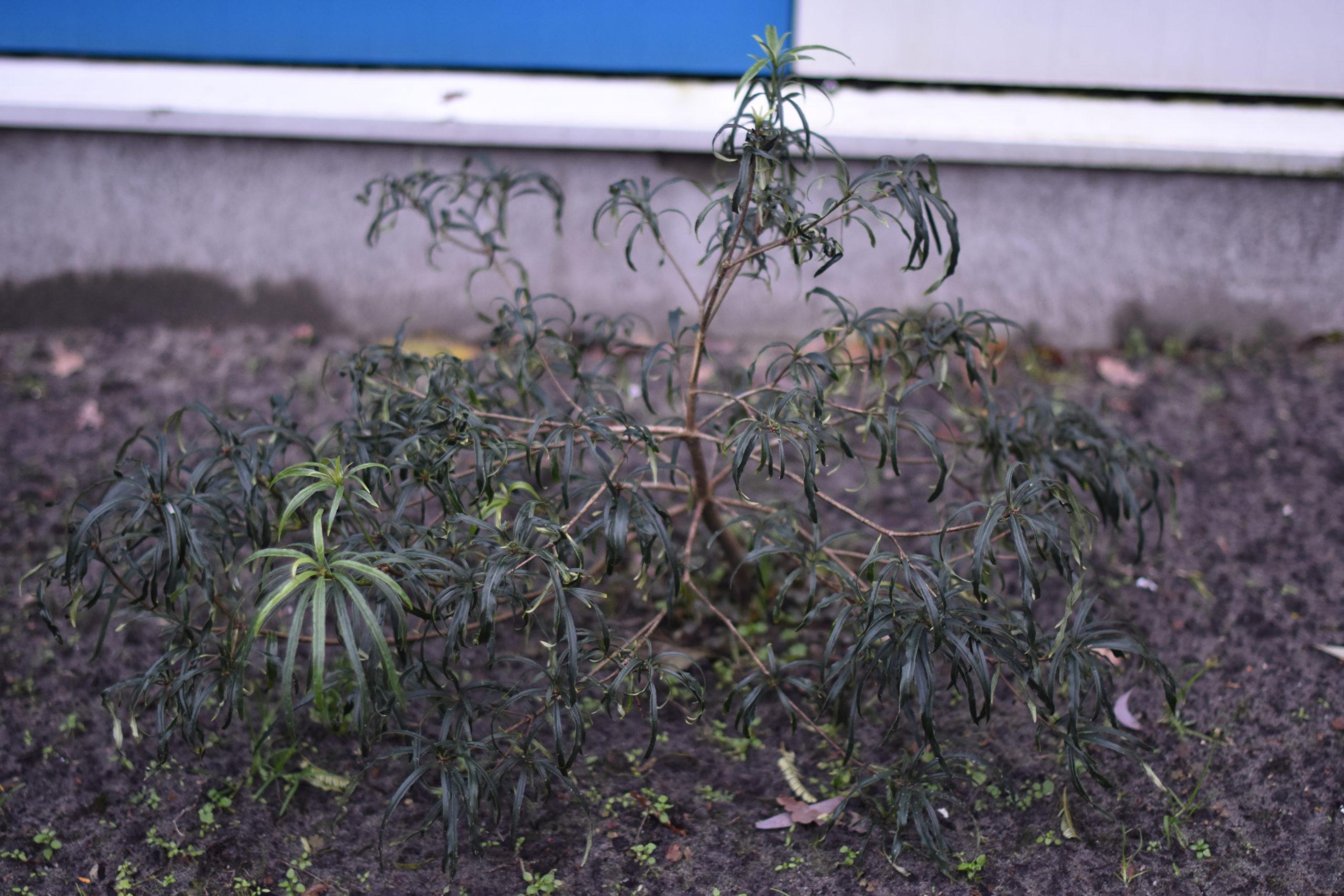 Pittosporum illicioides v. angustifolium