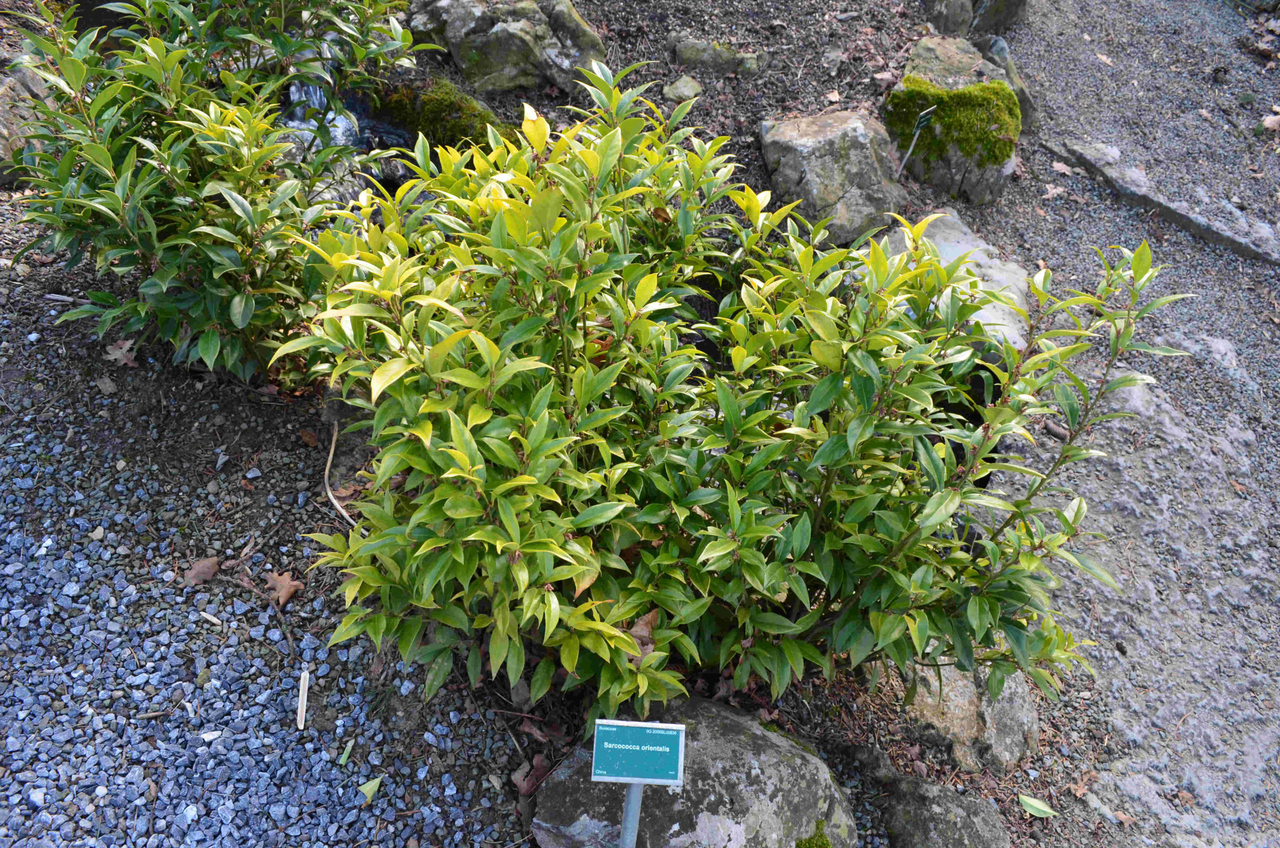 sarcococca orientalis