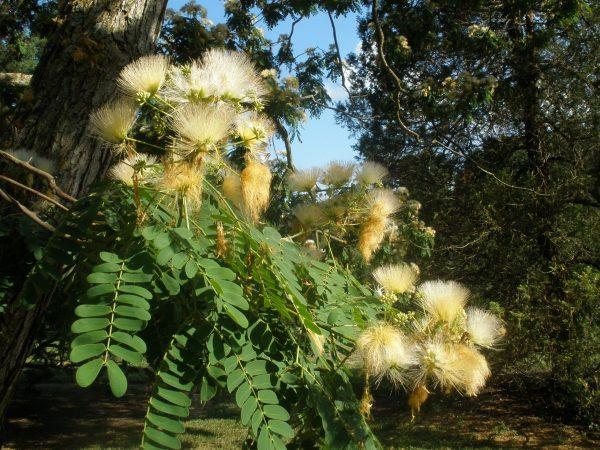 Albizia coreana in een Amerikaans arboretum
