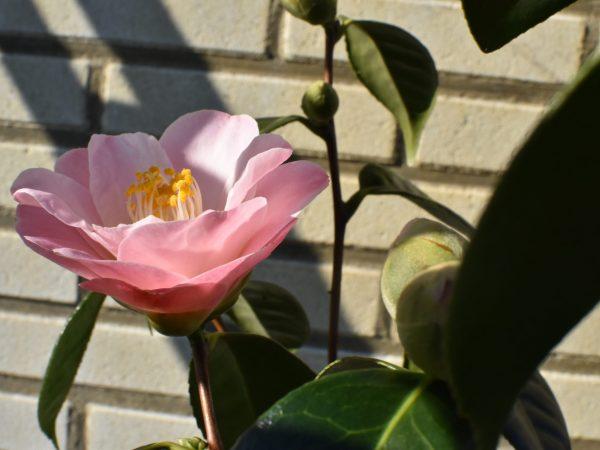 Camellia japonica 'Berenice Body'