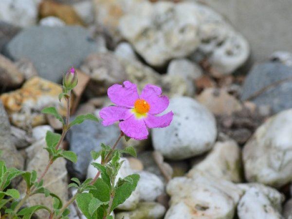 Cistus incanus ssp tauricus
