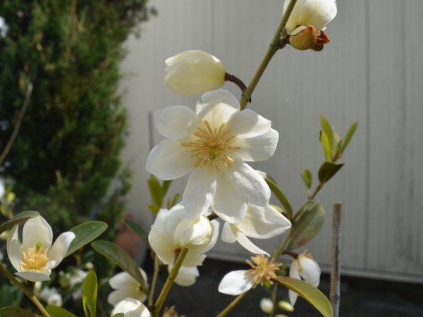 Michellia yunnanensis