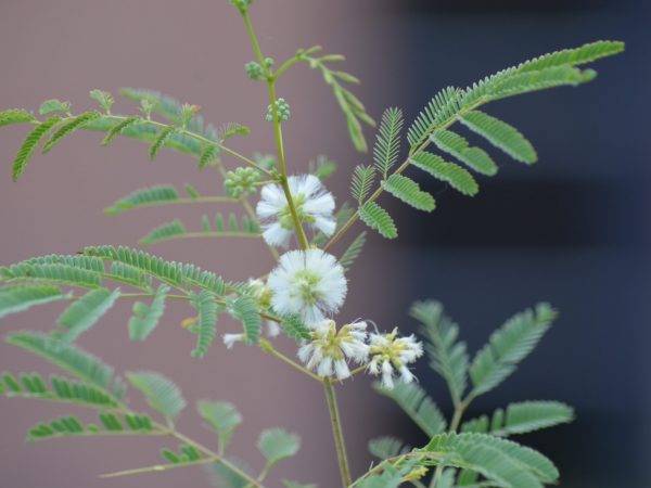 acacia angustissima var suffrutescens