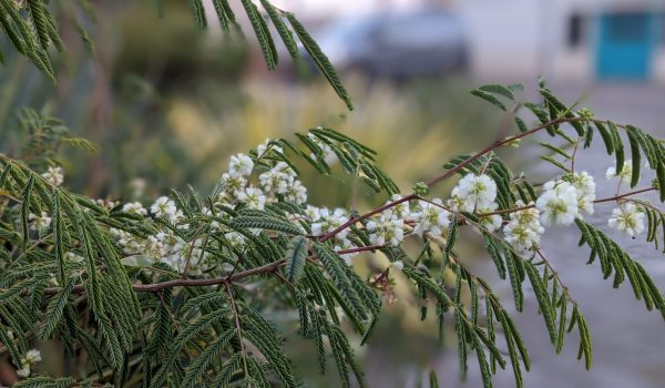 acacia angustissma var suffrutescens