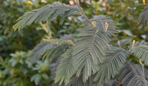 acacia dealbata subalpina (2)