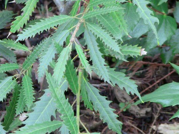 lithocarpus
