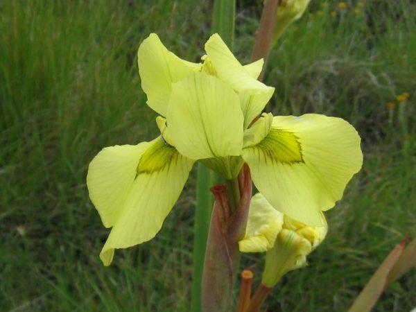 moraea alticola