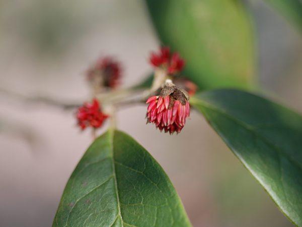 sycopsis tutcheri