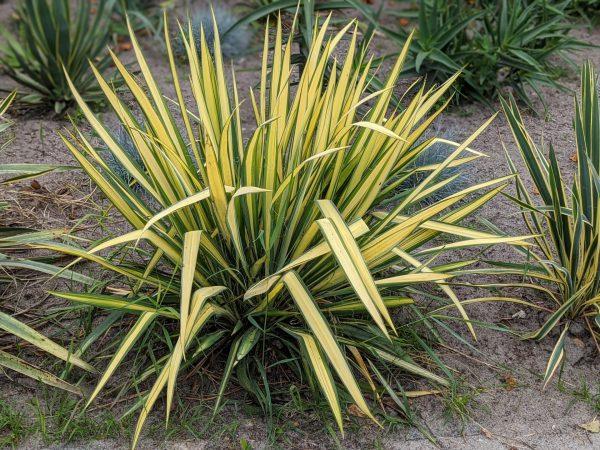 De Yucca flaccida